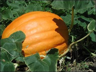 فوائد اليقطين- معلومات اليقطين وفوائده Pumpkin.jpg