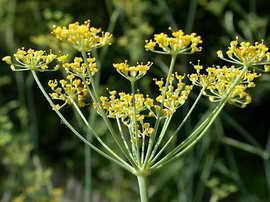 aadd2 ee879d0aa5 الفوائد الرائعة لليانسون   The wonderful benefits of anise